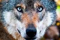 """Landesregierung will Wolf """"managen statt massakrieren"""""""