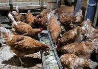 Eier aus Biomüll: Im Elsass werden Hühner als Müllschlucker eingesetzt