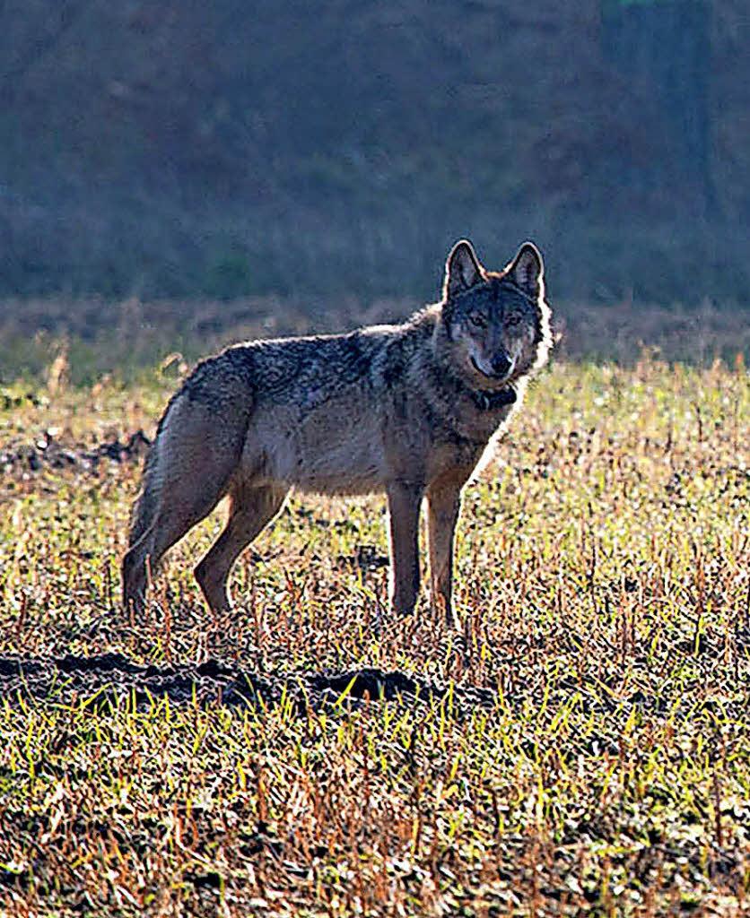 Küchenideen Wolf Emmendingen ~ wolf wird zum gemeinschaftsprojekt südwest badische