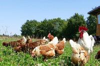 Legen Hennen mehr Eier, wenn sie mit einem Hahn zusammen leben?