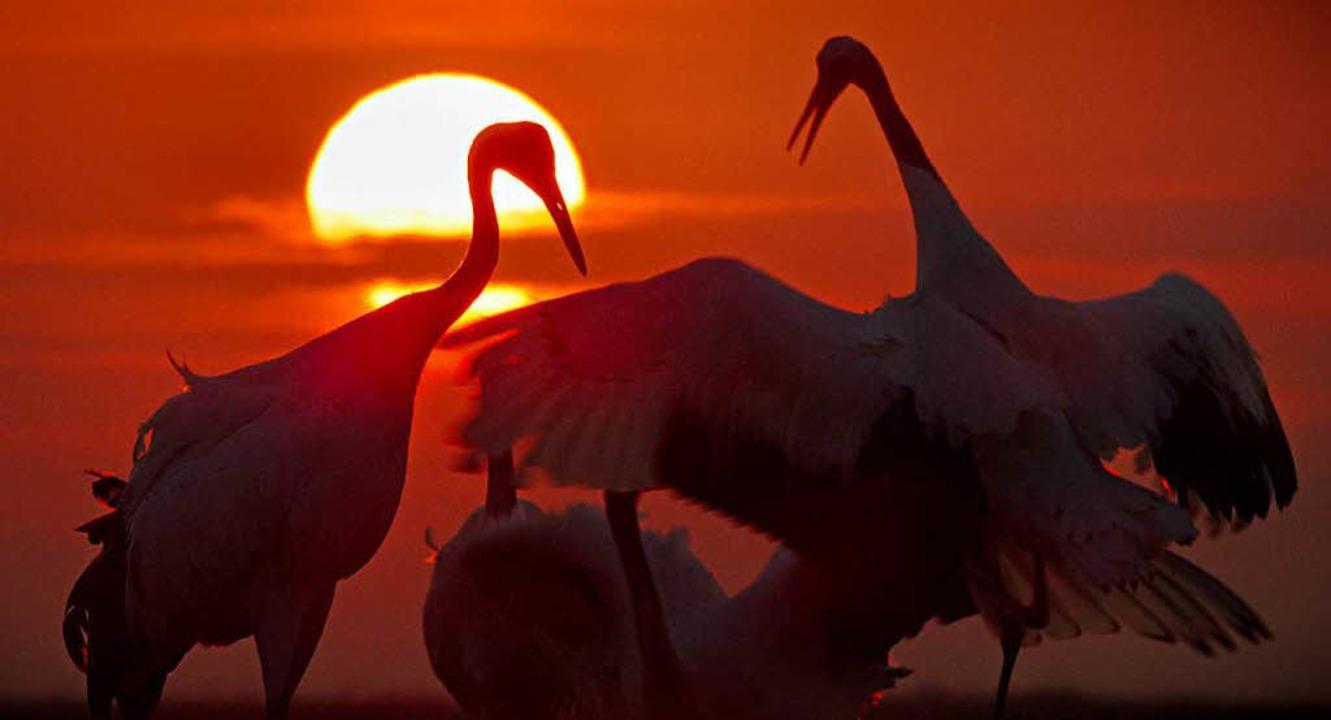 Erhabene Schönheit: Tanz der Mandschurenkraniche  bei Sonnenaufgang  | Foto: Universum, dpa
