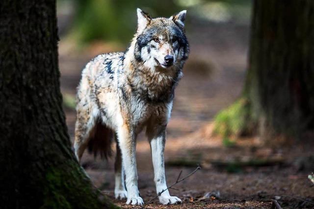Umgang mit dem Wolf: Der eine will schießen, der andere schützen