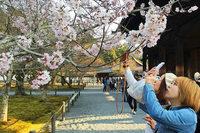 In Japan beginnt die Kirschblütensaison – deutlich früher als üblich