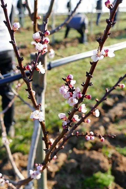 Erste Blüten der Aprikosenbäume in Mengen.    Foto: Nikola Vogt