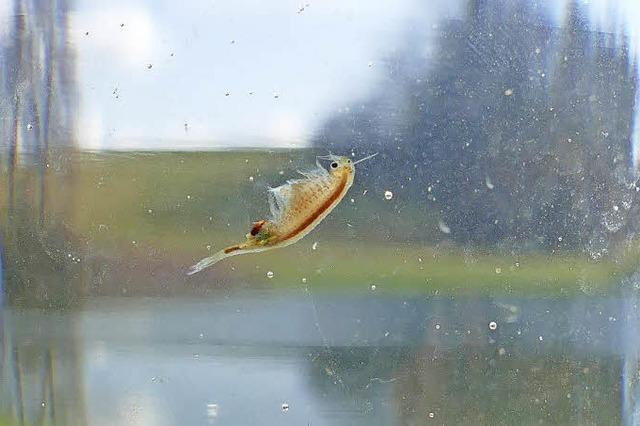 Urzeitkrebse im Eichener See bei Schopfheim sind quicklebendig
