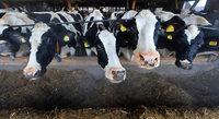 Händler-Pleite bringt Milchbauern in der Ortenau in Not