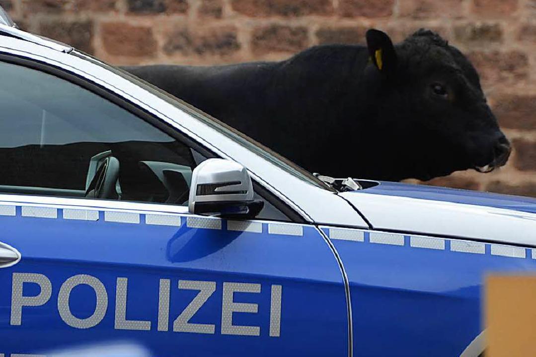 Ein ausgerissener Jungbulle hielt in L...iter und Polizei in Atem (Archivfoto).  | Foto: Ralf Burgmaier