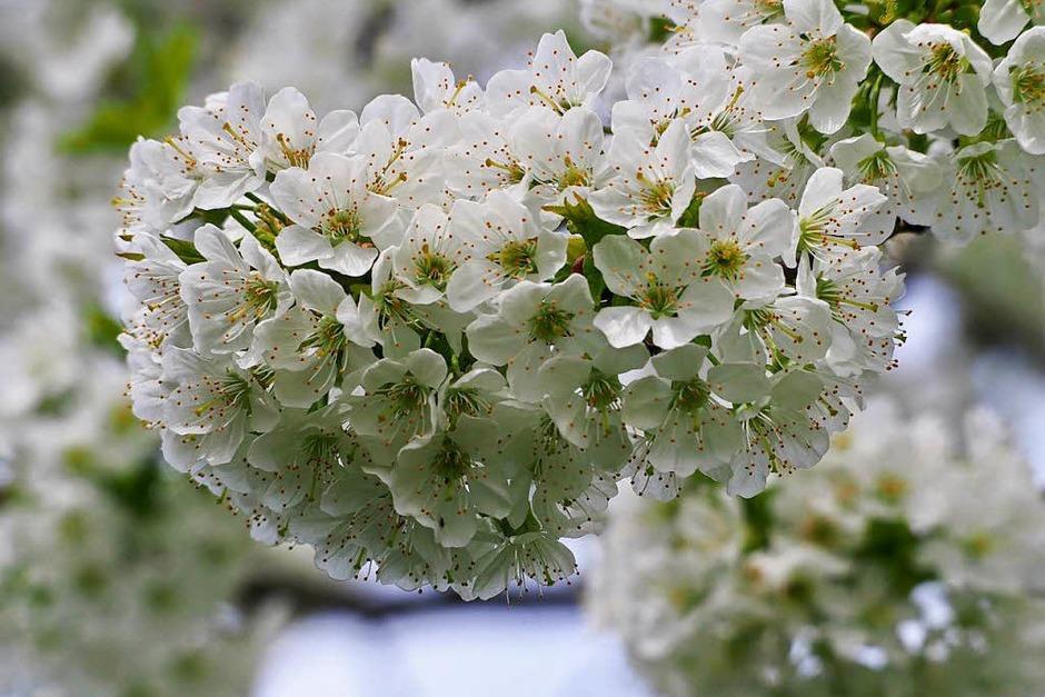Blüten satt. (Foto: Markus Donner)