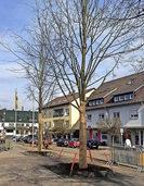 Neue Linden ersetzen die kranken Bäume