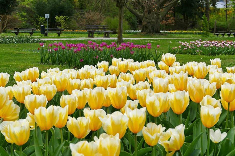 Der Frühling hält endlich Einzug und allerorten sprießt und gedeiht es. Bad Krozingen und sein Kurpark stehen da nicht nach und laden mit blühender Pracht an vielen Stellen der Kurstadt ein. (Foto: Hans-Peter Müller)