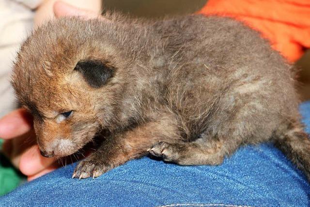 Bauer findet verwaiste Fuchswelpen in seiner Scheune