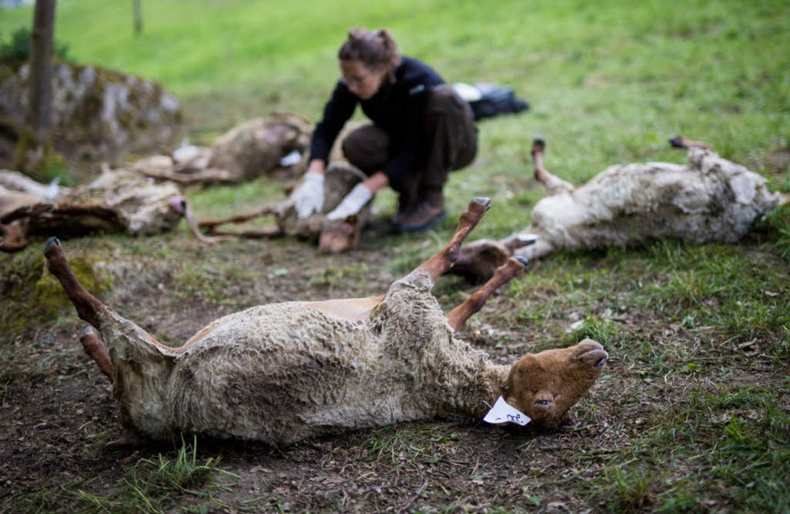 Über 30 Schafe getötet Ist ein Wolf dafür verantwortlich?