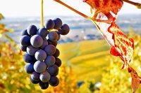 Das Markgräflerland ist beim Biowein am erfolgreichsten