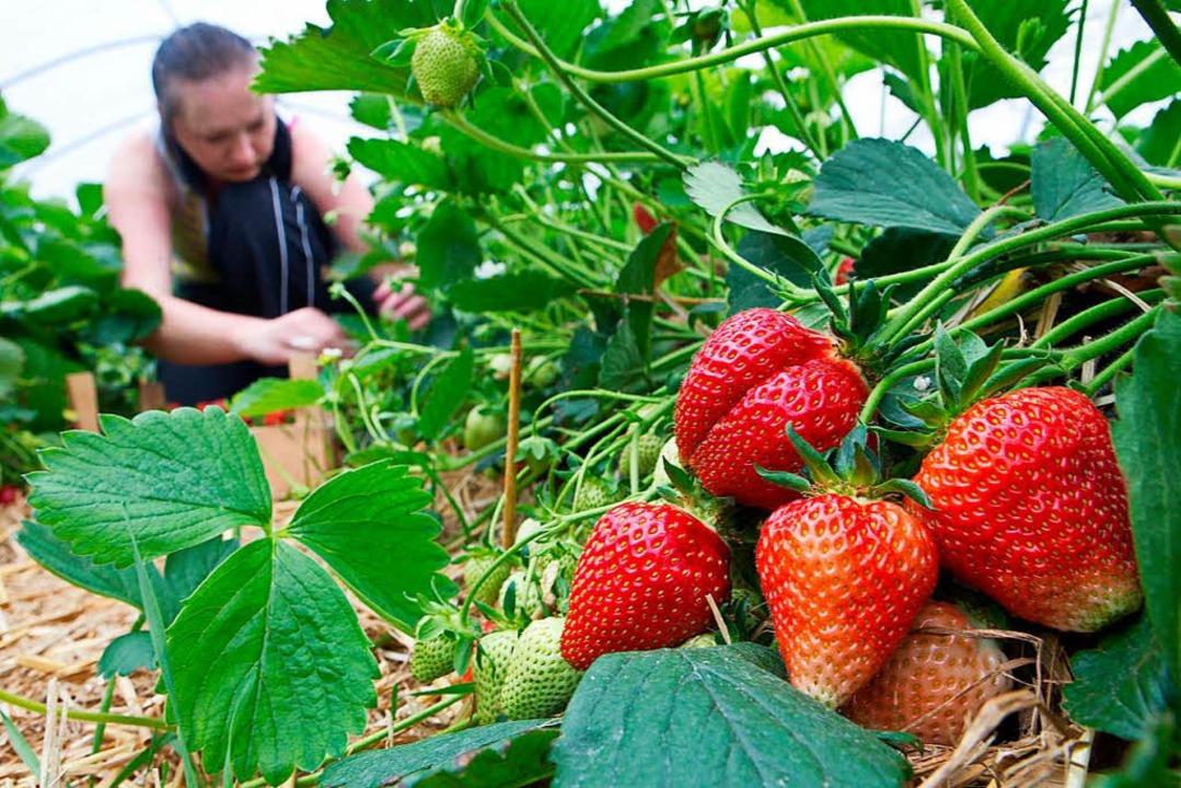 Beeren brauchen immer einen feuchten B...ie ersten lassen sich schon pflücken.   | Foto: dpa