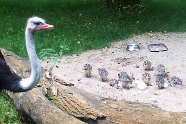 Video: Elf Straußen-Babys schlüpfen auf dem Mundenhof