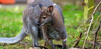 Amt nimmt Familie Känguru weg