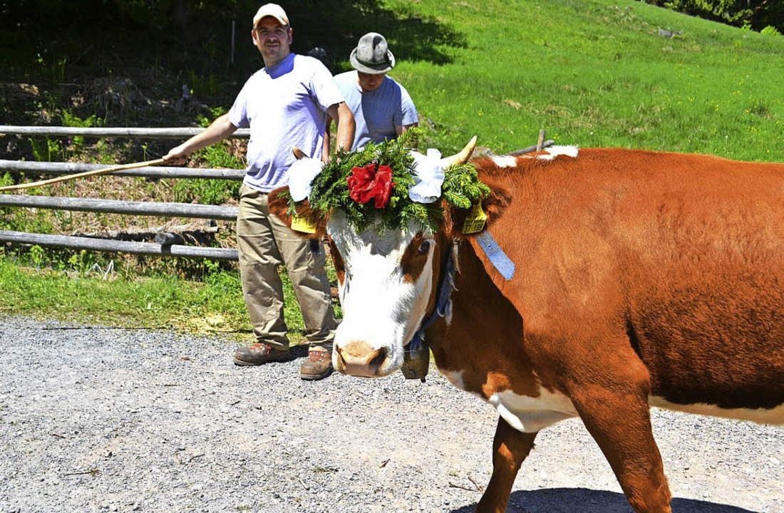 Hier geht's lang: Ein Rind mit K... Weide beim Weideauftrieb im Mai 2017.  | Foto: paul berger