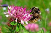 Mit dem Nabu zu den Wildbienen am Läufelberg