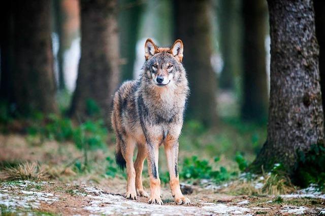 Wer soll den Schutz vor dem Wolf bezahlen?