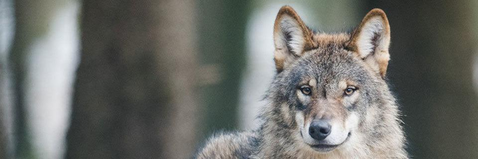 Wer soll für den Schutz vor dem Wolf bezahlen?
