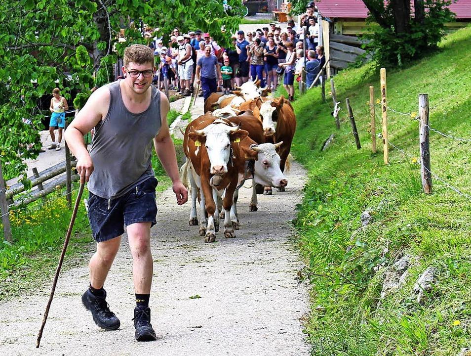 Die Rinder waren kaum zu halten: Frisc...r vor sich her Richtung Ungendwieden.     Foto: Martin Klabund
