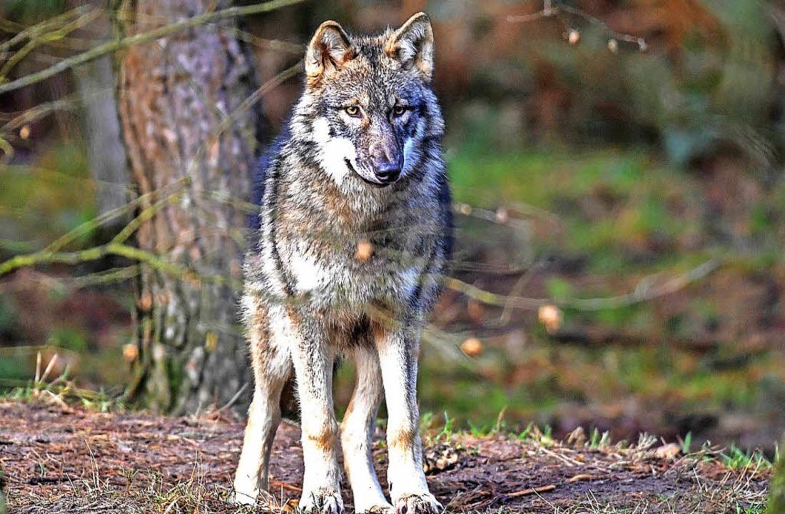 Dieser Wolf im Wildpark Schorfheide st...egegnungen immer wieder zu Konflikten.  | Foto: Patrick Pleul (dpa)