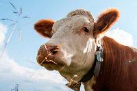 Schwangere Kuh reist illegal nach Serbien – jetzt soll sie geschlachtet werden