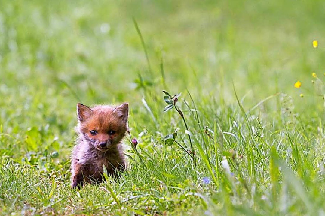 Fuchs im Gras.  | Foto: Pixabay.de