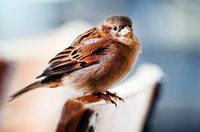Nabu-Vogelzählung: Spatz im Südwesten am häufigsten gesichtet