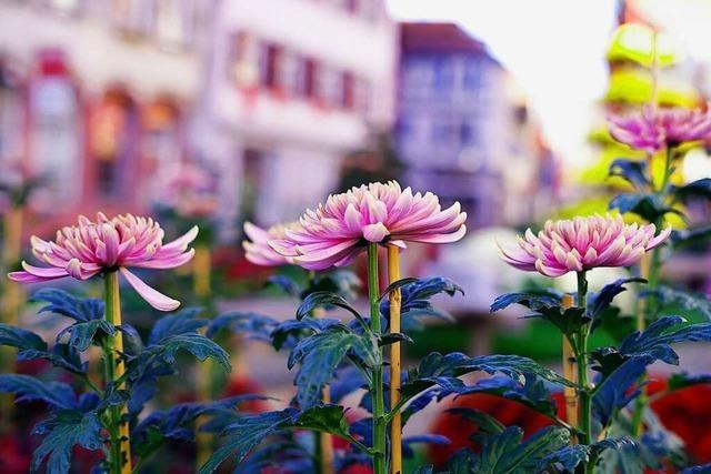 Die Chrysanthema 2018 in Lahr wächst weiter