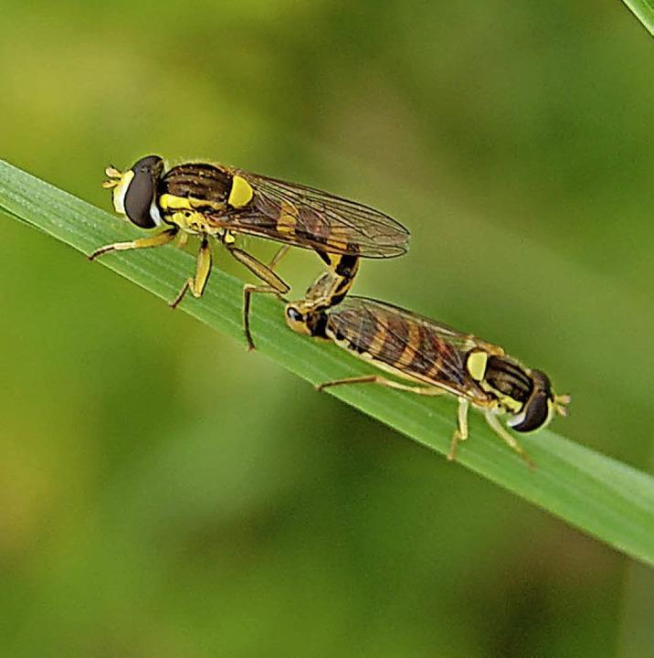 Gemeine Schwebfliegen  | Foto: Hannah Fedricks Zelaya