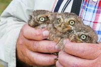 Drei Steinkauz-Junge in Mengen werden beringt