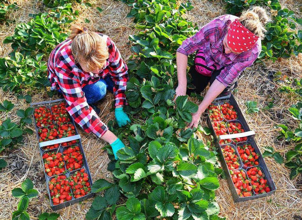 Wenn das Klima zwischen Landwirt und E...n beispielsweise für die Erdbeerernte.  | Foto: dpa