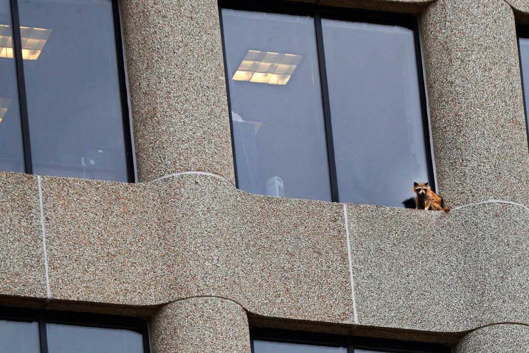 Ausflug in luftige Höhe: Die Waschbärin bei einer Pause auf dem Fenstersims.  | Foto: dpa