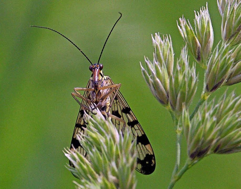 Im nördlichen Mooswald lebt unter anderem die Skorpionsfliege.   | Foto: Andreas R. Braun