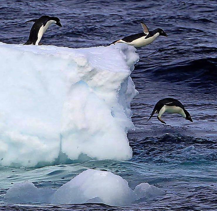 Adelie-Pinguine springen von einerEisscholle in der Antarktis.  | Foto: dpa