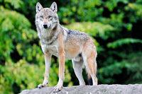 Wolf im Nordschwarzwald gesichtet – aber noch nicht identifiziert