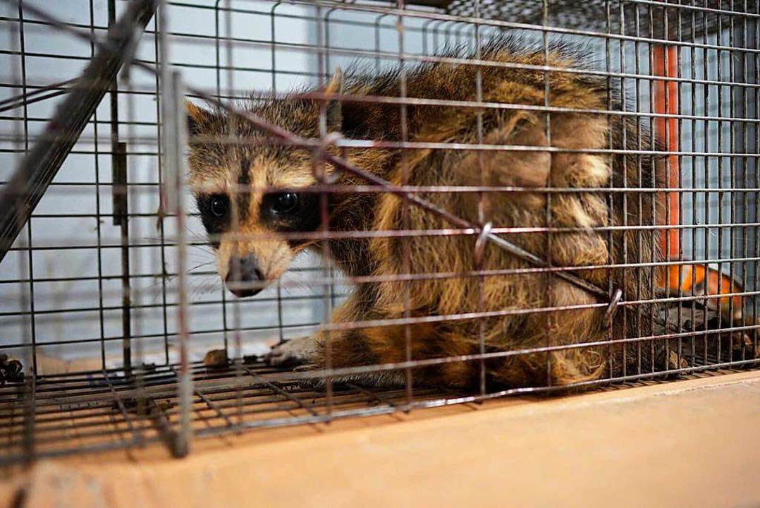 Eingefangen! Das Tier wurde mit Katzen... gelockt und kurz darauf freigelassen.  | Foto: dpa
