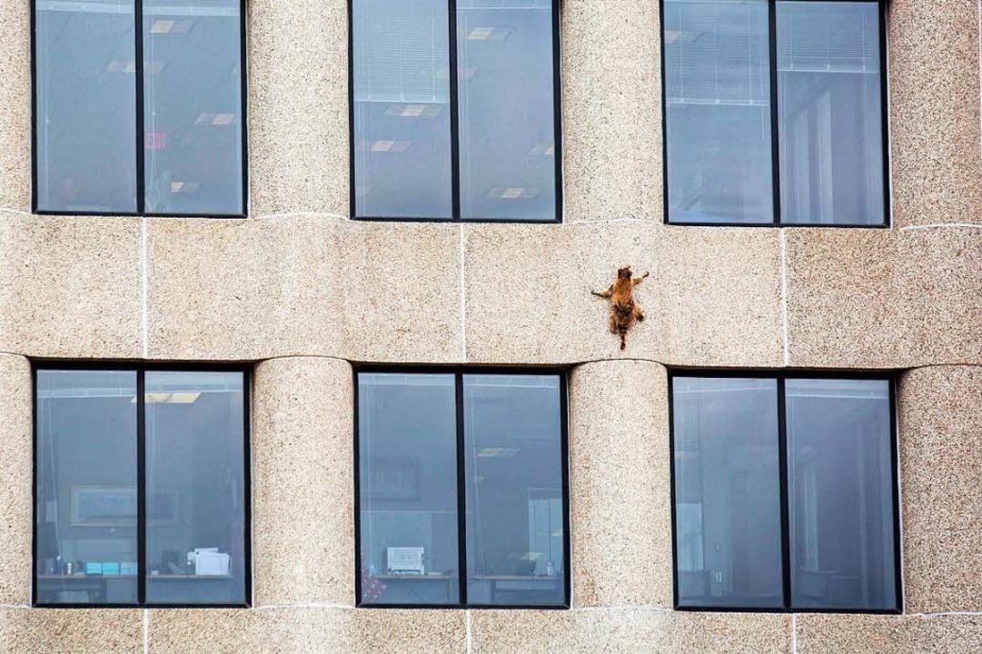 Waschbären sind findige Kletterer.  | Foto: dpa