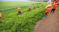 An Chinas Küste wuchert der Meersalat