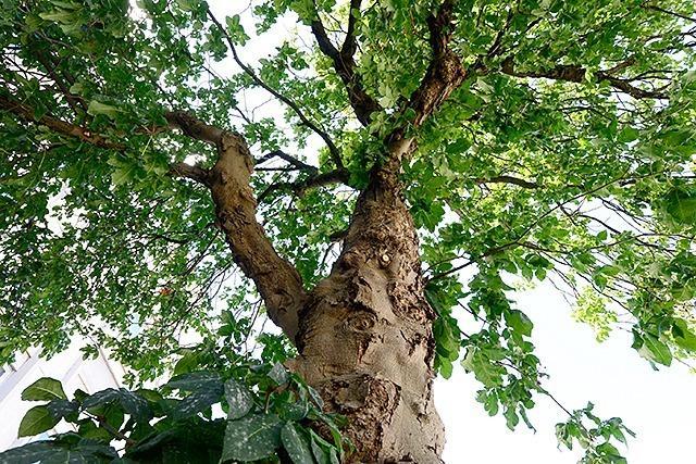 Das Thema Baumverpflanzung wird in Freiburg kontrovers diskutiert