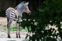 Kleines Zebra sorgt für im Zoo Basel für Trubel