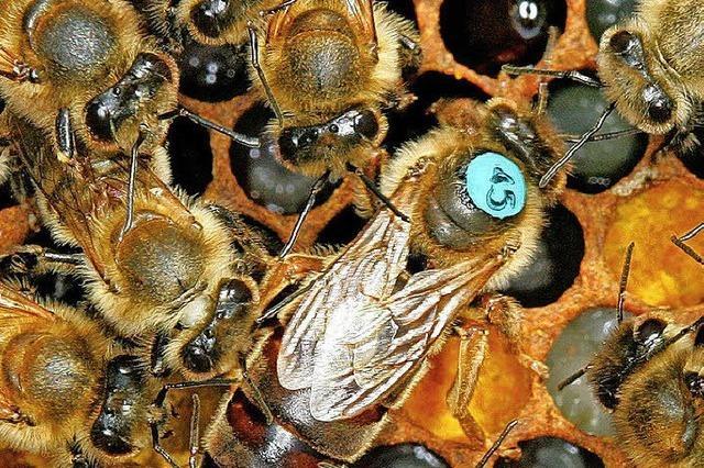 Unbekannte stehlen acht Kisten mit Bienenköniginnen in Lahr