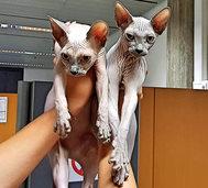 Zoll stoppt Frau mit Nacktkatzen