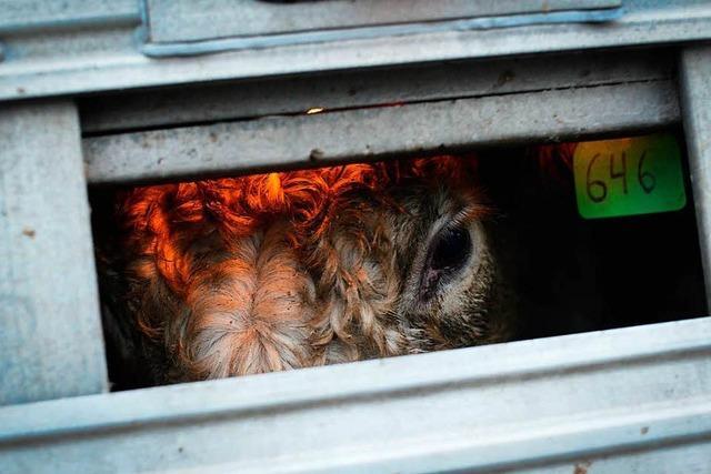 Gibt es bald neue Regeln für Tiertransporte?