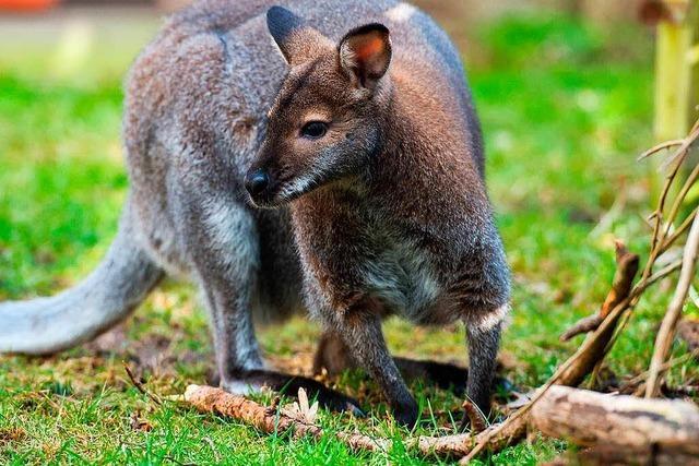 In Kenzingen ist ein Känguru entlaufen