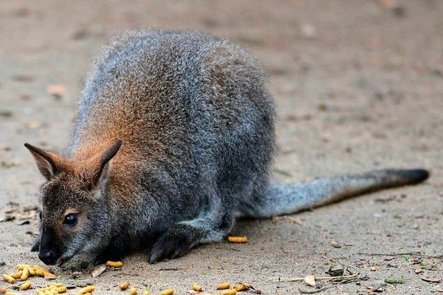 Entlaufenes Känguru hüpft immer noch durchs Bombacher Umland