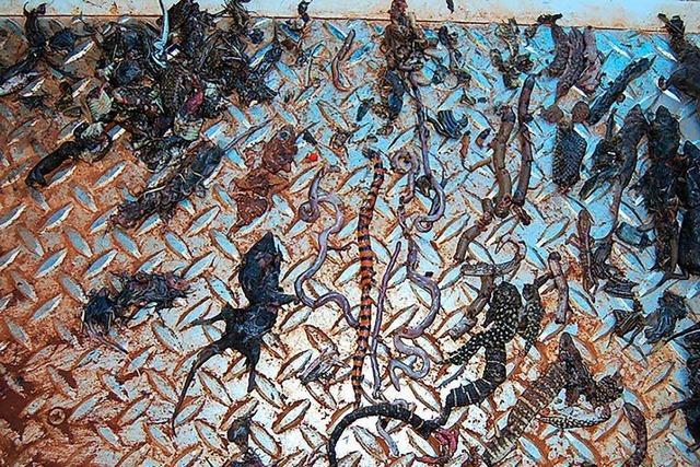 Verwilderte Katzen töten jährlich 650 Millionen Reptilien