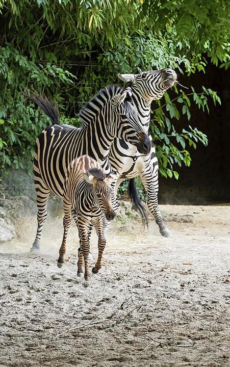 Gestreifter Nachwuchs: Zebras im Zolli  | Foto: dpa