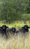 Eine Herde Wasserbüffel für biologische Vielfalt